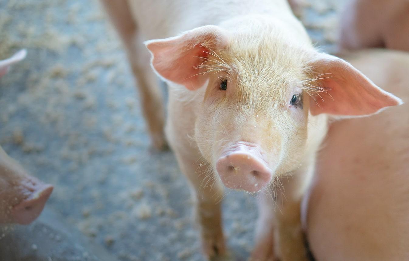 Više za uzgajivače svinja
