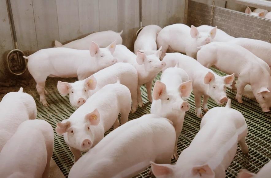 Čišćenje objekata za svinje, Animalis, d.o.o.